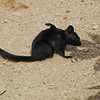 Maya found and photographed this melanistic ground squirrel scratching itself. A very exciting find.