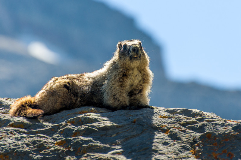 Marmot on way to Grinnell glacier