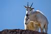 Mt. Goats