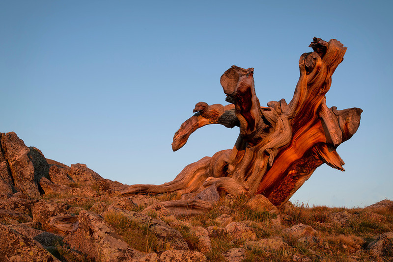 Sunrise Bristle Cone Pine