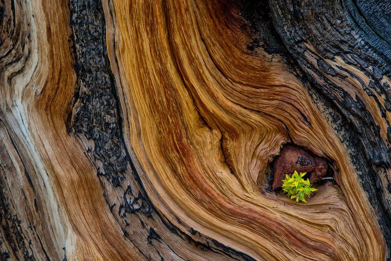 Bristle Cone Pine Bark