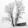 Oaktree & Boulder in Snowstorm