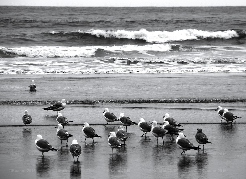 """Brothers and Sisters<br /> Gathered on the Long Beach foreshore, a collection of seagulls are clearly organising themselves into a union. Some are indifferent, some are unsure, one or two are belligerent; their leader stands proud and self-assured: """"Brothers and Sisters! For too long we have been oppressed! Stand with me now, and show these humans we shall be cattle, er, sparrows, no longer!"""""""