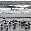 "Brothers and Sisters<br /> Gathered on the Long Beach foreshore, a collection of seagulls are clearly organising themselves into a union. Some are indifferent, some are unsure, one or two are belligerent; their leader stands proud and self-assured: ""Brothers and Sisters! For too long we have been oppressed! Stand with me now, and show these humans we shall be cattle, er, sparrows, no longer!"""