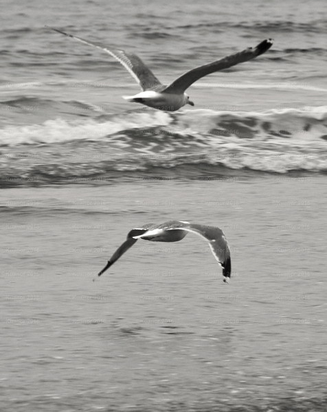 Above and Below<br /> Seeking to present the smallest radar image, two black-tipped seagulls attack along the Long Beach seafront, mirroring each other's wngbeats, in perfect synchronicity.