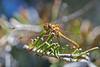 Dragonfly0480