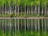 aspen trees in Utah