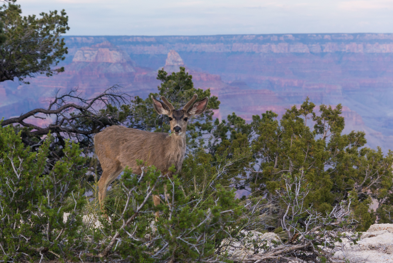 Deer grazing at the Grand Canyon