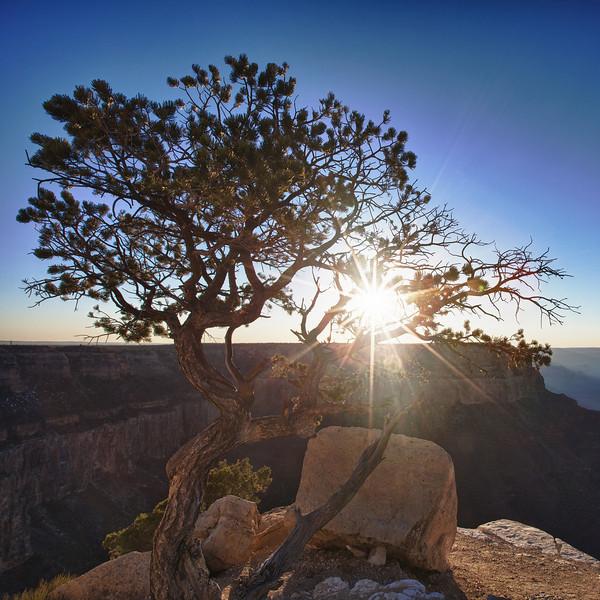 Tree at Sunset, Grand Canyon