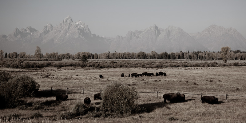 Bison Landscape (Revisited)