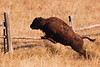 A Young Bison Jumps Over the Fence
