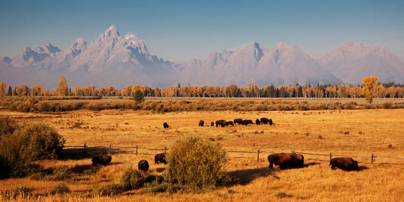 Bison Landscape