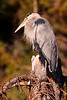Great Blue Heron (Ardea herodias), Perched