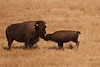 Mother Bison and Child