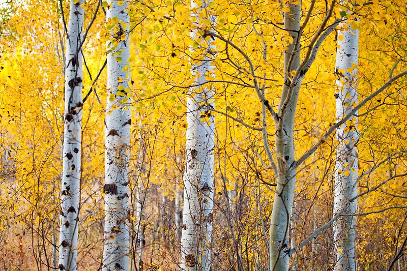Aspen Fall Color in Grand Teton N.P.