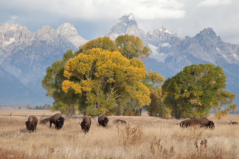 Buffalo grazing in front of Grand Tetons
