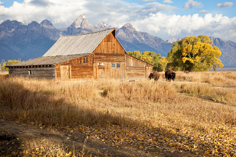 Bison grazing on Mormon Row