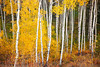 Fall color in Aspen forest, Grand Teton National Park