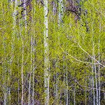 Aspens in Spring Panorama.  Grand Tetons