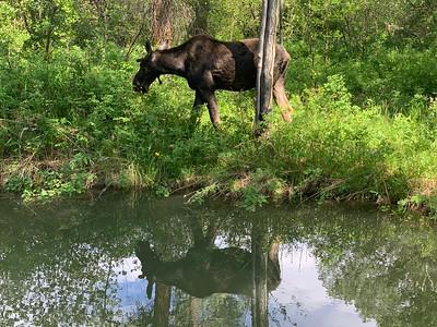 Resident Moose at Wildflower Lodge