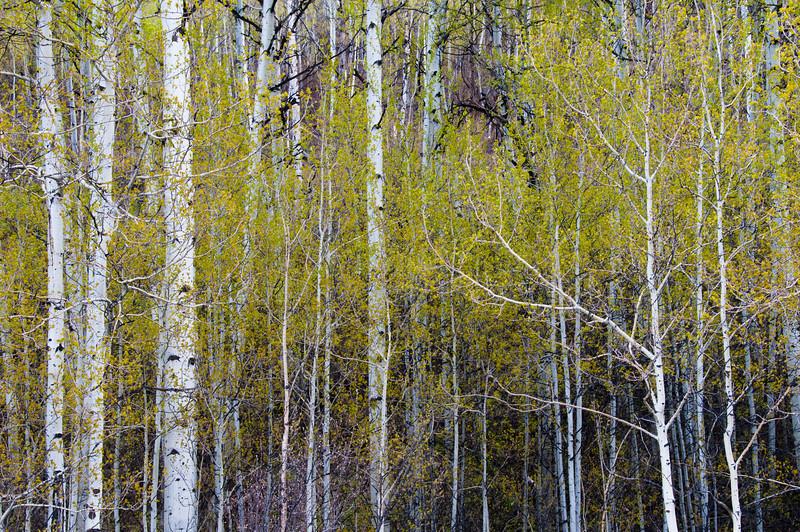 Aspens in Spring.  Grand Tetons