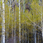 Aspens in Spring.  Grand Tetons