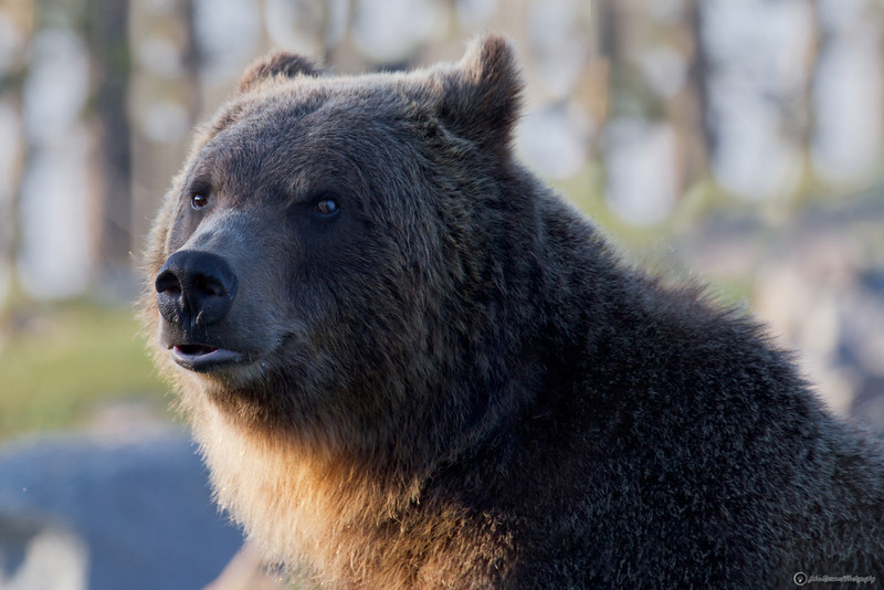Grizzly Bear Lip Curl