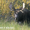 Bull moose( Alces disambiguation)
