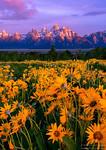 Wildflowers at Grand Tetons