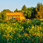 Grant-Road-Farm-Sunflowers_D3X0377-Mountain-View-Silicon-Valley-Farm