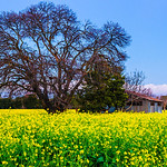 """""""Dusk at the Grant Road Farm"""" The Grant Road Farm doesn't exist anymore - one of the last farms in Silicon Valley in Mountain View, California, it is history now with houses and pavement. I decided to work on this one as we recently drove down Grant Road and were reminiscing. The mustard is growing in other parts of the San Francisco Bay Area right now, but obviously not here! This old barn together with the majestic tree and mustard brought a little bit of country into the heart of silicon valley. Every year this is where they had the pumpkin patch, Christmas Tree farm, sunflowers for sale, vegetables and flowers. I am sure some folks remember this as how the entire silicon valley looked, so I am glad to have seen this!"""