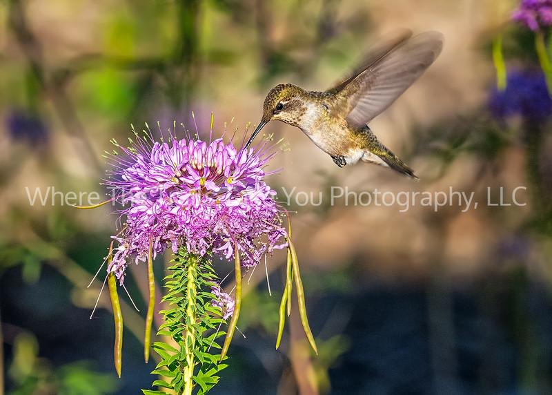 Hummingbird On The Beeweed