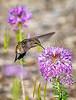 Hummingbird In The Beeweed