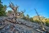 Bristlecone Along The Trail