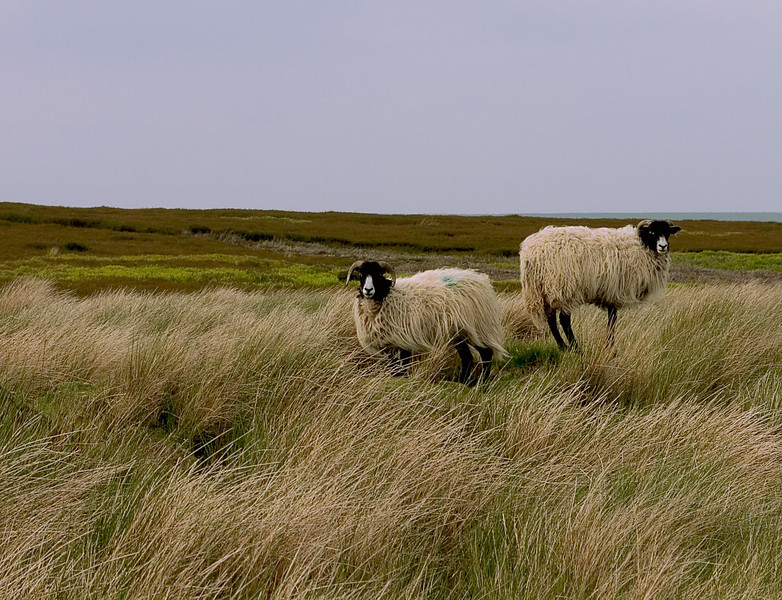 Yorkshire sheep living on the moors, England