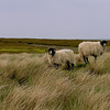 Yorkshire sheep living on the moors, England