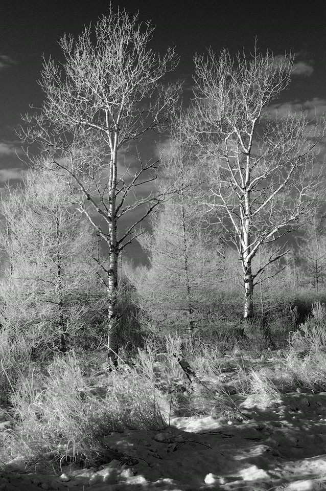 Sax Zim Bog In Winter, Black And White