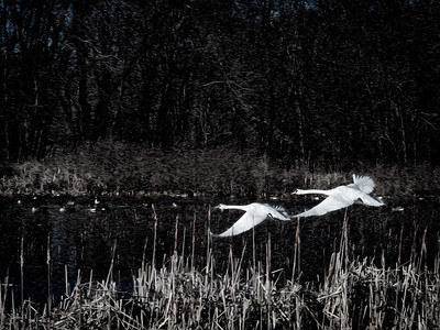 12 February 2012.  Mute Swans at Great Meadows NWR. Photo taken with Nikon D90 and Nikkor 85 mm lens.  Photo processed with Adobe Photoshop CS5 with Pixel Bender and Nik Silver Efex Pro 2.