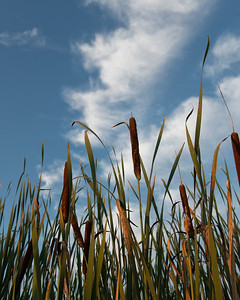 20120822.  Cattails at Great Meadows NWR.