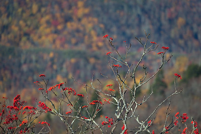 American Mountain Ash Berries in the Fall