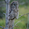 Moose Wilson Road Great Gray Owl.