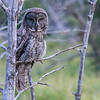 Great Gray Owl off of Moose Wilson Road.