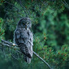 The beautiful Great Gray Owl of the Tetons.  They are very rare and often called the Gray Gray Ghost as they are seldom seen.  Found off Moose Wilson Road.