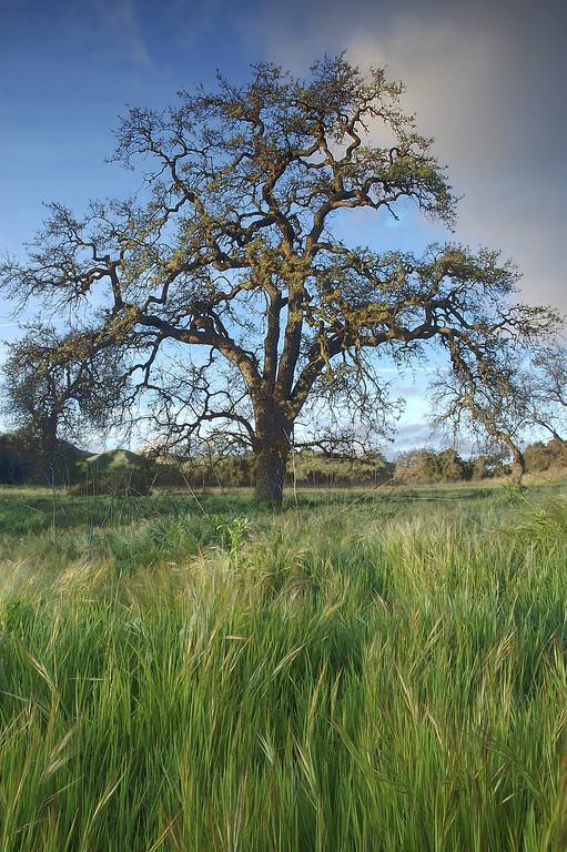 Oak Trees in Chesebro Canyon, Agoura Hills, California - Steve Sieren