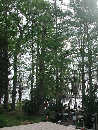 Green leaves at lake waccamaw