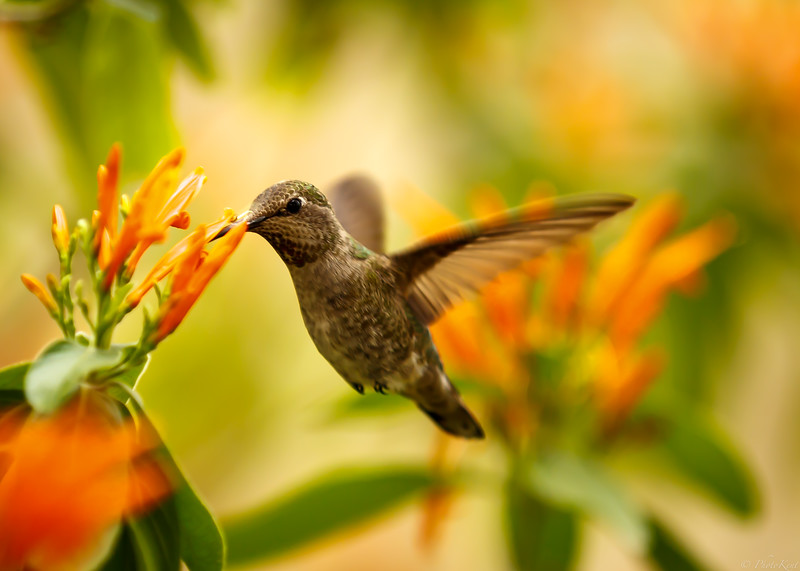 Hummingbird with Orange Flower
