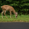 Roadside Deer
