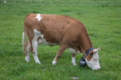 Immaculate Swiss cow and bell