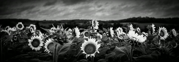 Grinter Farms Sunflower Field Lawrence KS (2014)