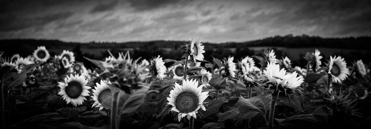 Grinter Farms Sunflower Field Lawrence KS (2014)